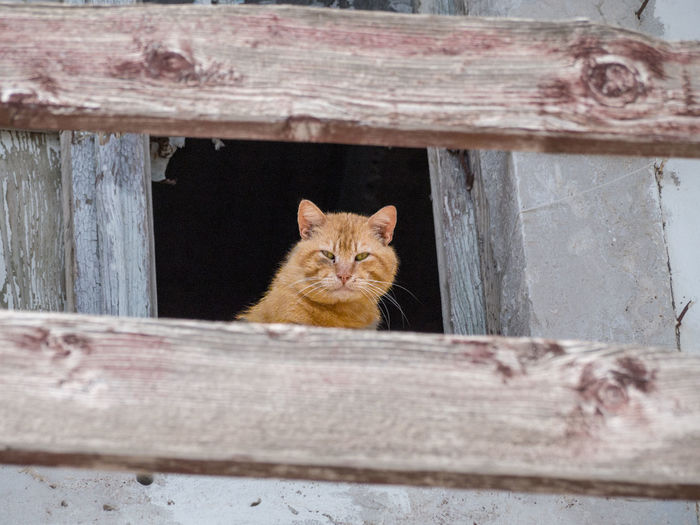 Cat looking out of a broken window behind planks