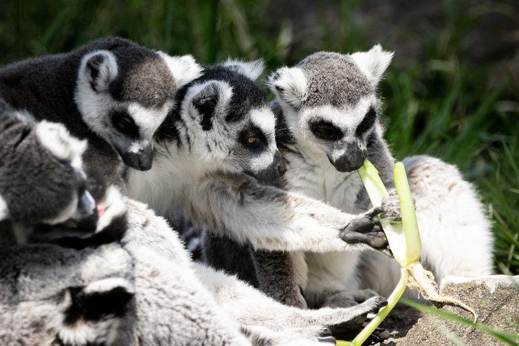 lemurs Ringtailedlemur Animal Themes Animal Young Animal Close-up Lemur Monkey Yellow Eyes Zoo