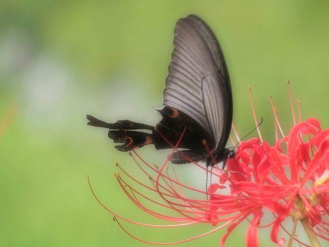 言葉にしなくても、君の優しさを僕は知っている… 彼岸花 アゲハ蝶 Butterfly Autumn Nature Beauty In Nature Butterfly - Insect EyeEm Nature Lover Flower Flower Collection EyeEm Best Shots - Nature My Point Of View EyeEm Gallery Taking Photo 日だまり