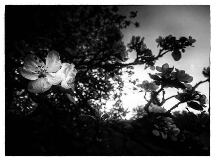 blossom black