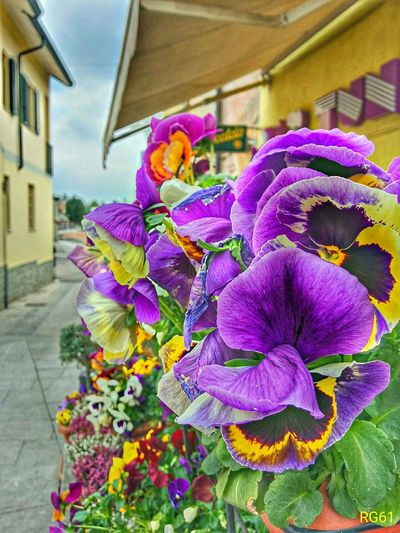 Flower Architecture Building Exterior Built Structure Purple Outdoors Multi Colored Day No People Flower Head Freshness Nature Close-up Nexus 5 Nexus5photography Extreme Weather BernateTicino TICINO ♡ NiconcoolpixP4 Scattiquotidiani Scattimiei Seguimi Tranquility Fragility Scenics