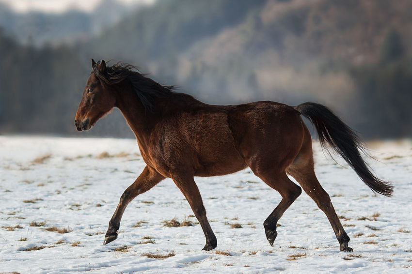 Brown horse in snow covered nature EyeEm EyeEm Best Shots EyeEm Nature Lover Horses Lifestock Nature Nature Photography Animal Animal Photography Animal Themes Animals Domestic Domestic Animals Horse Horse Photography  Naturelovers No People One Animal Outdoors Pets Snow Snow Covered