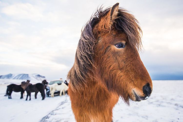 Animal Themes Cold Temperature Day Domestic Animals Europe Field Focus On Foreground Herbivorous Horse Iceland Iceland_collection Livestock Mammal Nature Nikon One Animal Outdoors Sky Snow Standing Travel Travel Destinations Weather Winter Working Animal