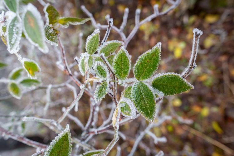 Plant Leaf Plant Part Close-up Growth Focus On Foreground Green Color Day Nature Beauty In Nature No People Cold Temperature Winter Outdoors Fragility Ice Vulnerability  Frozen Tranquility Frost Leaves
