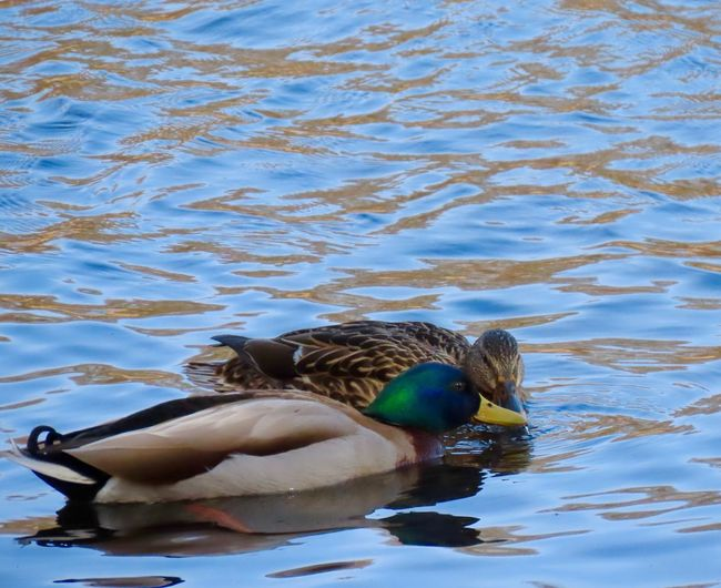 Duck lovers ❤️ male and female mallards 🦆 water ripples animal themes beauty in nature birds of EyeEm Animal Wildlife No People