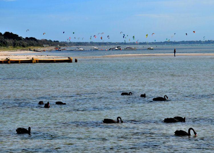 Animal Themes Beach Bird Flock Of Birds Kites Sand Sea Swans Water Waterfront Wildlife