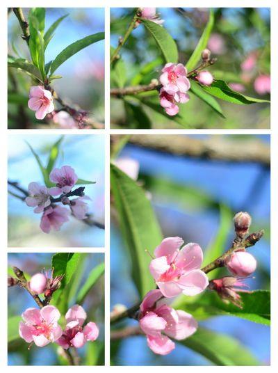 Hoa Đào chớm đông Flowerlovers Dalatflower