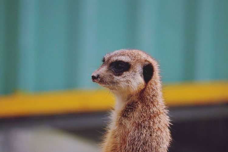 Close-up of meerkat looking away while standing outdoors