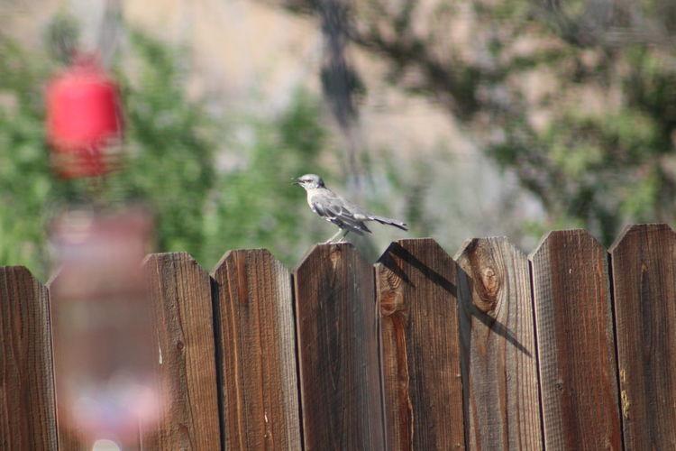 Mockingbird perching on wooden post