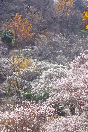 紅葉 秋 桜山公園 冬桜 桜