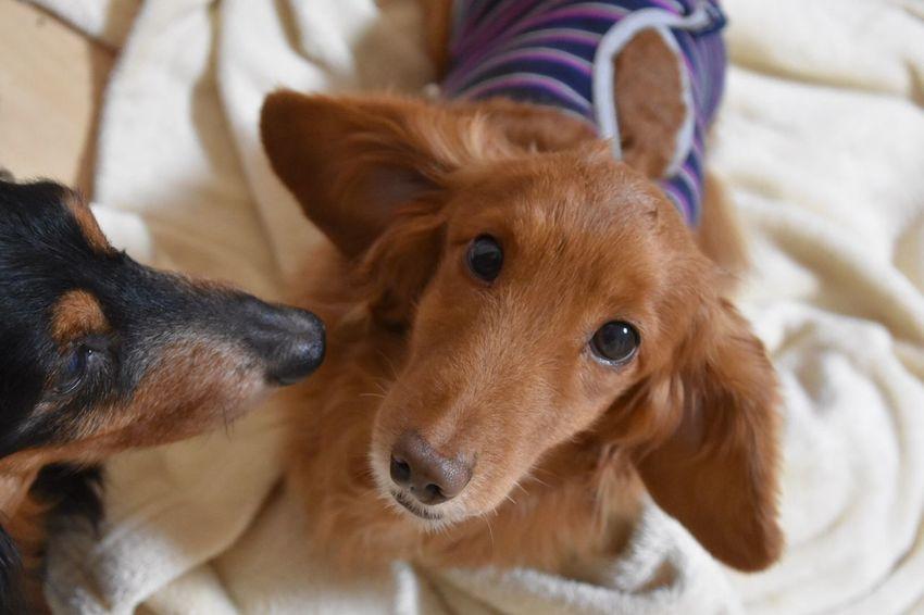酷い寝癖。(*✧×✧*) I Love My Dog Dog Dachshund Dog Love Doglife