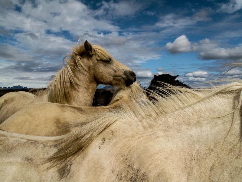 Animal Head  Animal Themes Domestic Animals Horse Iceland Horse Iceland Memories Iceland_collection Islandpferd  Outdoors Pferde Pferdebilder Standing Zoology