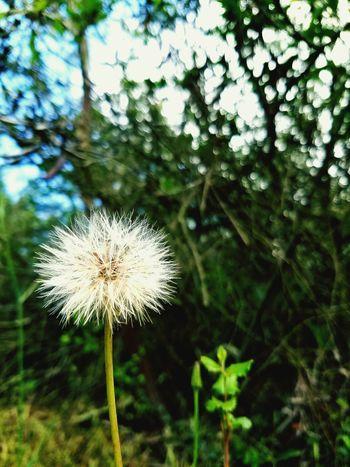 Dandelion Dandelion Flowers Flowers PhonePhotography Nature Nature Photography Poway, Ca