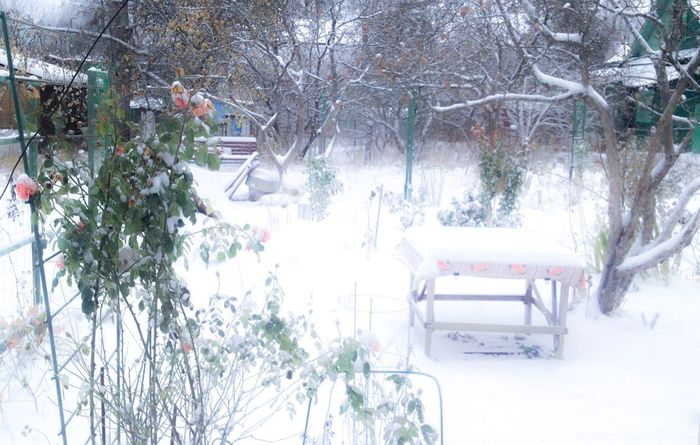 Tree Winter Snow Cold Temperature Branch Nature Growth Outdoors No People Day Snowing Village Light Roses