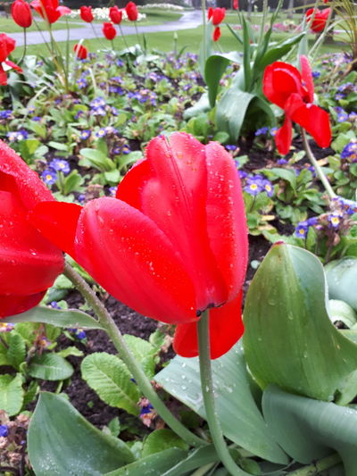 Outdoors. Wet Weather. Red Tulip. Park.