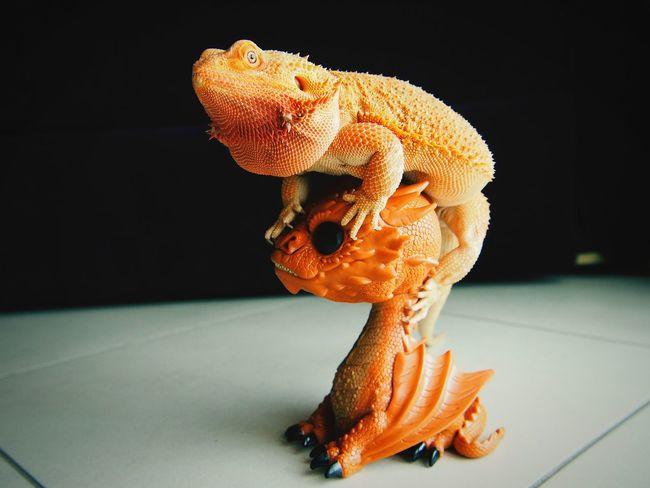 Domestic Animals Reptile Red Dragon Animal Lizard Animal Wildlife Nature Animal Themes Brothersforlife Nodifference
