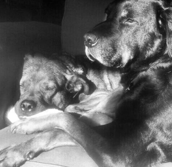 My two furry kiddo's... Jaira and Santos Dog Pets Animal Themes Relaxation Motherhood Blackandwhite Happiness Love Dogs Rottweilermix Rottweiler Rottweilerlove Rottweilerlife