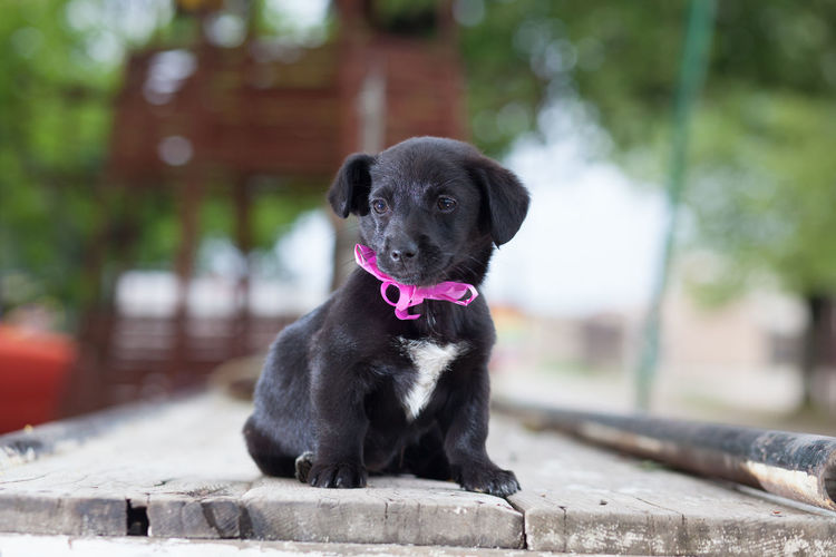 Close-Up Of Black Puppy Sitting On Floorboard