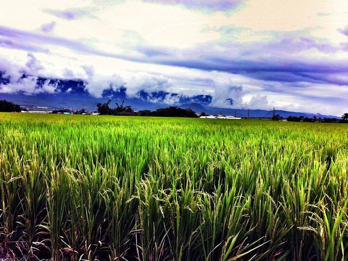 Paddy Rice Paddy Green Sky Sky And Clouds Taiwan Taitung Nature 稻田