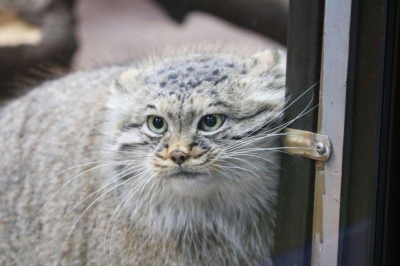 Wildcat Manul