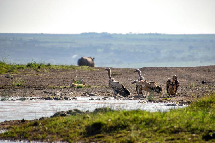 Africa Kenya Animal Themes Wildlife Vulture Landscape Nature White Backed Vulture Bird Of Prey Close Up Nature