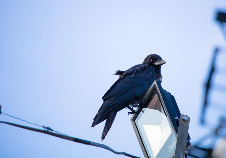 Low angle view of bird perching against clear sky