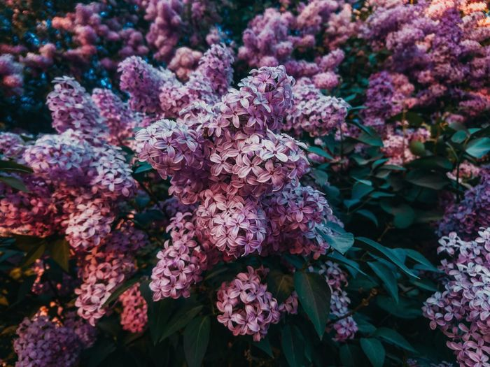 Flower Flower Head UnderSea Purple Tree Close-up Plant Lilac Inflorescence Flowering Plant Botanical Garden Colored Purple Color Wisteria Lavender Hydrangea Bunch Of Flowers Vine Rhododendron Tropical Flower Plant Part In Bloom Plant Life Petal Blooming Petunia