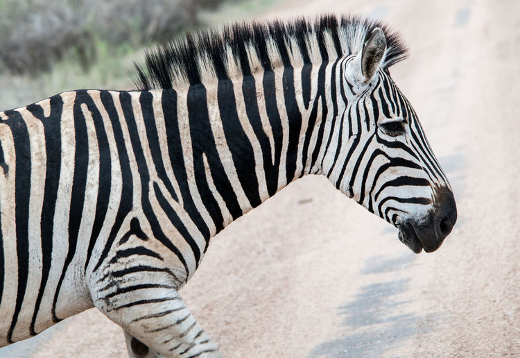 Africa Animal Markings Animal Skin Animal Themes Animal Wildlife Animals In The Wild Close-up Day Iroquoise Mammal Nature No People One Animal Outdoors Safari Animals Striped White Color Zebra