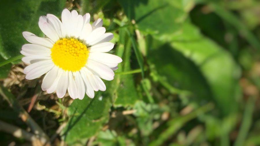 Focus Object Daisy Daisy Flower Daisy Close Up Daisy 🌼 Daisyporn Saint Martin De Riberac