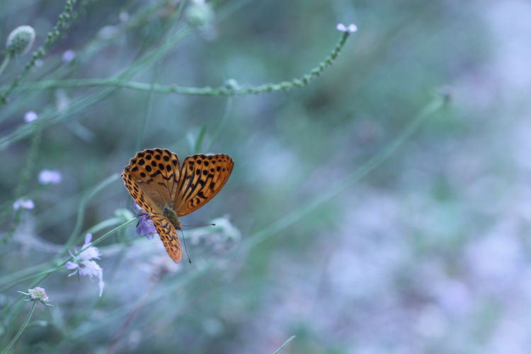 Argynnis Paphia Animal Animal Wildlife Animal Wing Animals In The Wild Beauty In Nature Bokeh Butterfly Butterfly - Insect Close-up Day Flower Flowering Plant Focus On Foreground Fragility Growth Insect Macro Nature No People One Animal Outdoors Plant Selective Focus Vulnerability