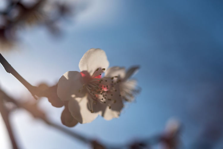Flower Plant Flowering Plant Fragility Vulnerability  Beauty In Nature Freshness Close-up Growth Selective Focus Nature No People Petal Focus On Foreground Day Sky Inflorescence Flower Head Springtime Twig Outdoors Pollen Softness Cherry Blossom