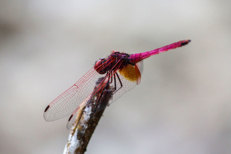 Roseate Skimmer Dragonfly. Insect Animal Wildlife Close-up Nature Dragonfly Beauty In Nature Pink Wing Detail