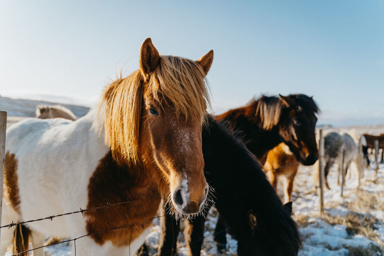 Portrait of horse standing by fence in animal pen during winter