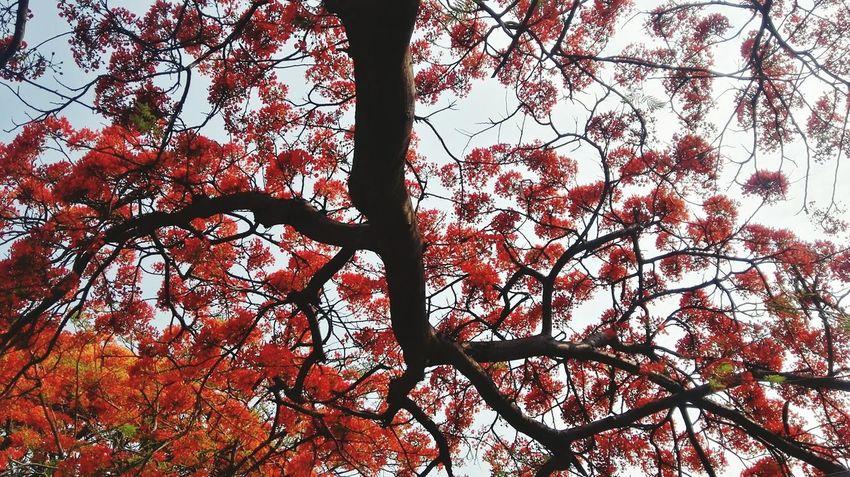 凤凰树系列6 Tree Flower Branch Backgrounds Full Frame Sky Close-up