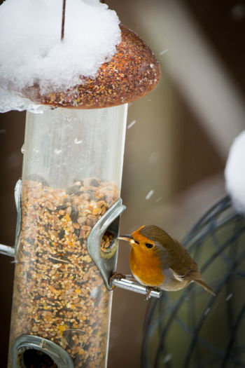Animal Themes Animal Wildlife Animals In The Wild Beauty In Nature Bird Close-up Day Focus On Foreground Food Food And Drink Nature No People Outdoors Perching Robin Snow Winter