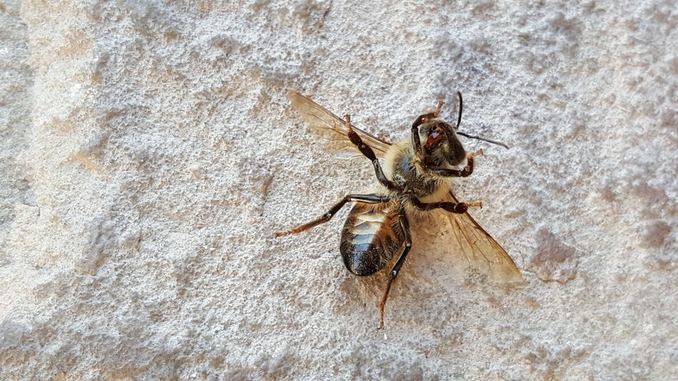 Dead bee 💀🐝 Insect Animal Themes Animals In The Wild One Animal Close-up No People Animal Wildlife Nature Outdoors Day Low Angle View Dead Bee Little Bee Honey Honey Bee HoneyBee Bee 🐝 Bees And Flowers Jumping Spider Yellow Spotted