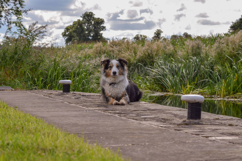 Posing border collie dog by the canal Docking Puppy Love ❤ Looking At Camera Animal Portrait Beautiful Nature Leothebordercolliedog Border Collie Canals And Waterways Green Tree