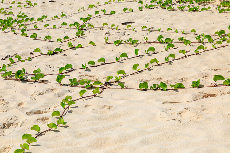Ivy on the Beach Looking Down Beach Beauty In Nature Day Full Frame Growth Ivy Leaves Nature No People Outdoors Plant Sand Trailing Plant
