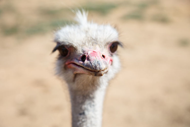 Portrait of an ostrich close up on a sunny day BIG Beak Emu Farm Funny HEAD Nature Ostrich Zoo Africa Animal Background Bird Close-up Curiosity Face Fauna Flightless Fowl Neck Ostrich Beak Outdoors Portrait Wild Wildlife