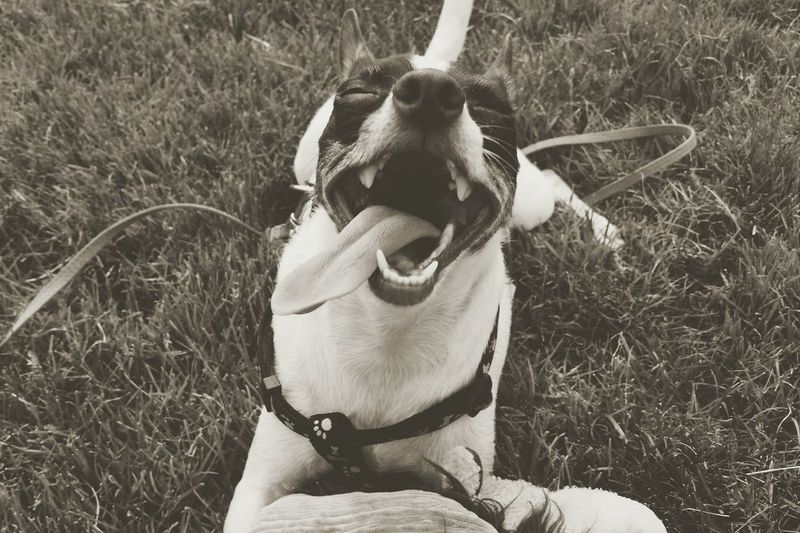 What's so funny doggo? Something Is Funny Rat Terrier Lets Have A Chuckle Laughter Happy Pup Happy Life Puppy Love EyeEmNewHere The Portraitist - 2017 EyeEm Awards