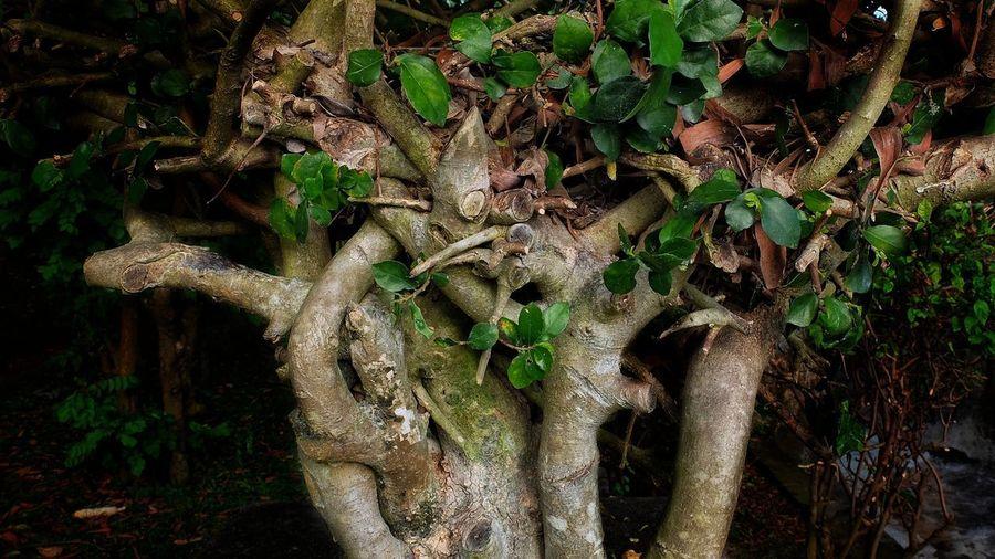 Tree cross Tree