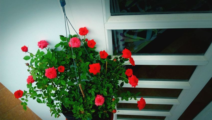 Tint Rose🌹 Small Flowers Nature Flowers And Windows Outdoors Waiting For Spring Red Flower Plant Pink Red Red Rose Vietnam Viewpoint Door Rose♥ Flowers Fresh