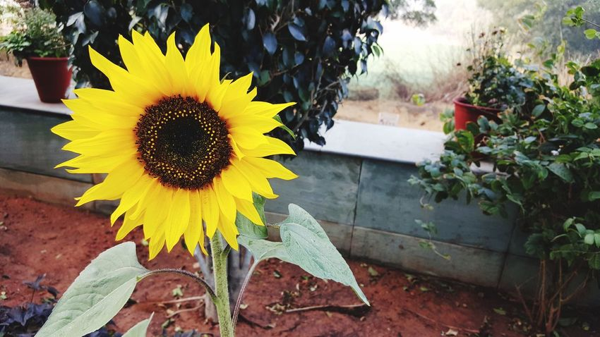 Flower Yellow Nature Petal Fragility Flower Head Sunflower Beauty In Nature Growth Plant Outdoors Day Blooming No People Close-up Freshness