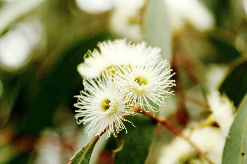 Australian Native Trees Australian Flower Popular Showcase: November GumTree Tree