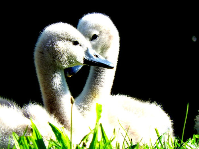 together we are stronger Animal Head  Beauty Beauty In Nature Birdlife Close-up Cygnets Nature No People Outdoors Swans Water White Wildlife