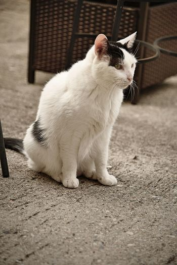 A White cat with black spots sit outside on the patio in sepia Cat Outside Cats Afternoon Meow Mammal Vertebrate Animal Pet White Cat Black Spots Cement Patio Portrait Domestic Feline Sitting Whisker Face Close-up Sepia Concrete Companion Friend Profile View Full Length EyeEmNewHere