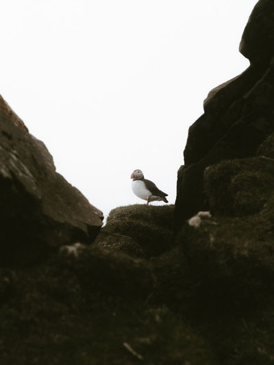 Low angle view of puffing perching on rock formation against clear sky