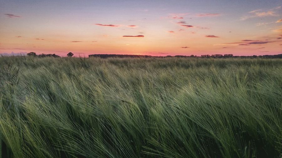 Spikes Sunset Meadow Field Mood Green Lines And Shapes Red Purpple Nature Agriculture Hungary Deszk Colour Of Life