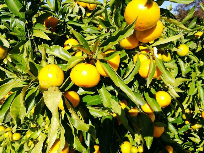 Fruit Citrus Fruit Food And Drink Freshness Food Growth Leaf Tree Yellow Outdoors Healthy Eating Day No People Nature Green Color Branch Beauty In Nature Close-up