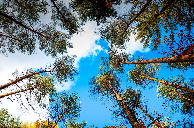 Tree Plant Sky Low Angle View Beauty In Nature Tranquility Growth Blue Branch Nature No People Day Scenics - Nature Tranquil Scene Outdoors Forest Cloud - Sky Land Idyllic Non-urban Scene Tree Canopy  Directly Below Poland Kaszuby Poland Eyeem